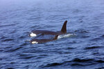 In this Tuesday, Aug. 7, 2018, Southern Resident killer whale J50 and her mother, J16, swim off the west coast of Vancouver Island near Port Renfrew, B.C. J50 is the sick whale that a team of experts are hoping to save by giving her antibiotics or feeding her live salmon at sea. The experts now have authorization to intervene with medical treatment in both U.S. and Canadian waters once the critically endangered orca shows up again in the inland waters of the Pacific Northwest. (Brian Gisborne/Fisheries and Oceans Canada via AP)
