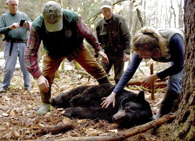 FILE - In this April 13, 2018, file photo, Andrew Timmins, the bear project leader with the New Hampshire Department of Fish and Game, steps over a tranquilized female black bear as Nancy Comeau, right, of the USDA wildlife services, keeps a hand on the bear after it had been moved onto her side in Hanover, N.H. The bear, tagged and fitted with a tracking collar, was later relocated to far northern New Hampshire. But in May 2019, the bear returned to her home turf in Hanover. In spring 2020, the bear is preparing to emerge from hibernation in her den with three new cubs. (Jennifer Hauck/The Valley News via AP, File)