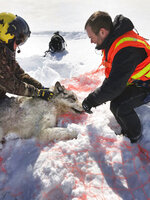 This Feb. 28, 2019 photo provided by the Ontario Ministry of Natural Resources and Forestry, the U.S. National Park Service and the National Parks of Lake Superior Foundation shows an Ontario wolf captured at Michipicoten Island in Ontario, Canada. Authorities are preparing for another mission to relocate gray wolves to Isle Royale National Park from a second Lake Superior island. The wolves would be moved from Michipicoten Island in Canadian territory, where they're in danger of starvation after gobbling up a caribou herd. The transfer planned for this weekend is part of a multi-year effort to rebuild wolf numbers at Isle Royale, which have plummeted in the past decade. (Mike Allan/Ontario Ministry of Natural Resources and Forestry via AP)