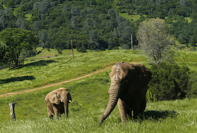 FILE -- In this Friday, April 26, 2019 file photo photo, African elephants Thika, left, and Mara walk through the Performing Animals Welfare Society's ARK 2000 Sanctuary near San Andreas, Calif. Gov. Gavin Newsom signed a law to take effect in 2020 banning most animals from circuses. The law exempts rodeos and does not apply to domesticated dogs, cats and horses. California is now the third state to enact such a ban, joining New Jersey and Hawaii (AP Photo/Rich Pedroncelli, File)