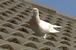 FILE - In this Jan. 13, 2021, file image made from video, a pigeon with a blue leg band stands on a rooftop in Melbourne, Australia. A U.S. bird organization said the leg band identifying the bird as a U.S. racing pigeon was counterfeit, which may save the bird from strict Australian biosecurity policies that would call for a U.S. pigeon to be killed. (Channel 9 via AP)