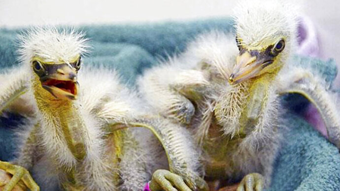 This July 12, 2019, photo released by International Bird Rescue shows baby snowy egrets being cared for in Fairfield, Calif. The animal rescue group is asking for help caring for baby snowy egrets and black-crowned night herons left homeless last week after a tree fell in downtown Oakland. (International Bird Rescue via AP)