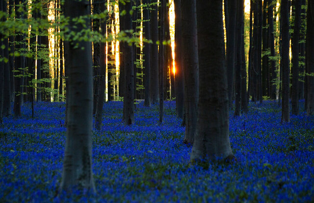 The sun begins to rise through trees as Bluebells, also known as wild Hyacinth, bloom in the Hallerbos forest in Halle, Belgium, on Thursday, April 16, 2020. Bluebells are particularly associated with ancient woodland where it can dominate the forest floor to produce carpets of violet–blue flowers. (AP Photo/Virginia Mayo)