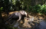 An elephant Suddi who was recently released from government custody following a court order, reclines in a water way to cool off in Pannipitiya, a suburb of Colombo, Sri Lanka, Sunday, Sept. 12, 2021. Environmentalists in Sri Lanka are challenging a court order issued earlier this month that would allow the return of 14 illegally captured wild elephants to people accused of buying them from traffickers. Rights groups and lawyers say the Sept. 6 court order is based on a government decree that violates Sri Lankan environmental laws. Elephants are revered because they have been an essential part of religious and cultural festivals in Sri Lanka for many centuries. (AP Photo/Eranga Jayawardena)