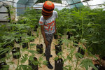 In this photo taken Thursday, Dec. 12, 2019, small-scale farmer Itumeleng Tau stands among his cannabis plants in a hothouse in Krugersdorp, South Africa. Now that South Africa's courts have relaxed laws against marijuana, the country's cannabis production is poised to become a multi-bullion dollar business. (AP Photo/Denis Farrell)