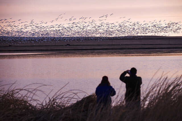 In this March 24, 2017, photo, two bird watchers photograph thousands of snow geese at the Freezeout Lake Wildlife Management Area outside Fairfield, Mont. Tens of thousands of the white geese migrate through the wetland annually at the end of March. (Thom Bridge/Independent Record via AP)
