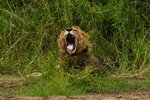 In this Sunday July 7, 2019 photo, a young male lion yawns as he wakes up in Tanzania's Tarangire National Park. Across Africa, the number of lions has dropped by more than 40 percent in two decades _ putting lions on the list of species scientists consider