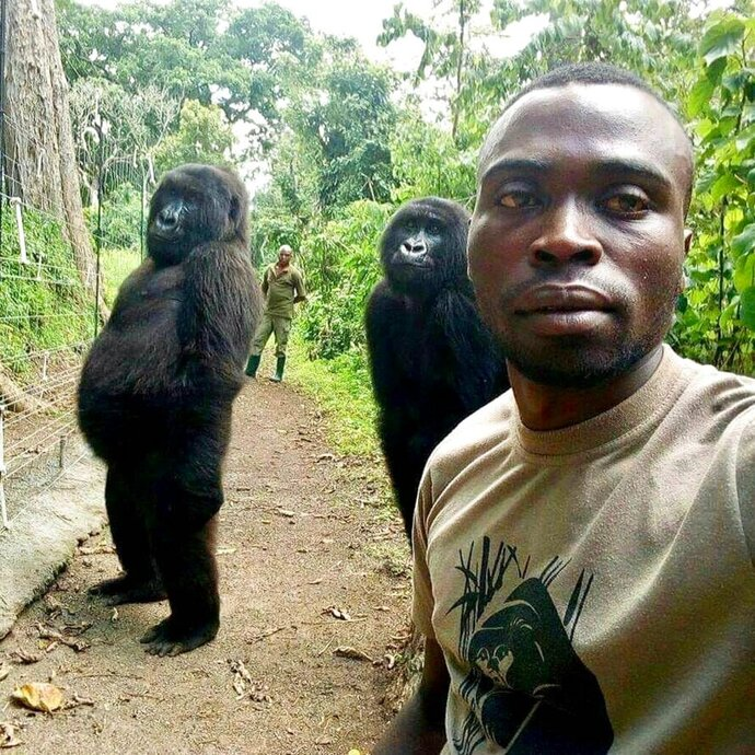 In this image taken on Thursday April 18, 2019, Mathieu Shamavu, a ranger and caretaker at the Senkwekwe Center for Orphaned Mountain Gorillas poses for a photo with female orphaned gorillas Ndakazi and Ndeze at the the Senkwekwe Center for Orphaned Mountain Gorillas in Virunga National Park, eastern Congo. Shamavu has described to the Associated Press how he was checking his phone when he noticed two female orphaned gorillas, Ndakazi and Ndeze, mimicking his movements, so he took a picture with them. (Mathieu Shamavu/Virunga National Park via AP)