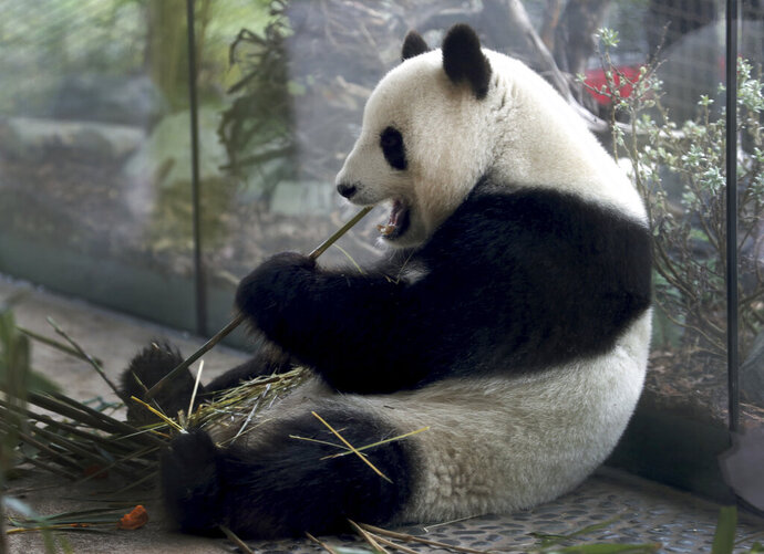 In this Friday, April 5, 2019 file photo taken trough a window female panda Meng Meng eats bamboo at its enclosure at the zoo in Berlin, Germany. The Berlin zoo announced that Meng Meng is probablypregnant after an artificial insemination several months ago. (AP Photo/Michael Sohn, file)