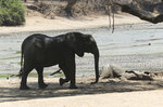 "In this Oct, 27, 2019, photo, an elephant walks next to a carcass of another elephant in an almost dry pool that used to be a perennial water supply in Mana Pools National Park, Zimbabwe. Elephants, zebras, hippos, impalas, buffaloes and many other wildlife are stressed by lack of food and water in the park, whose very name comes from the four pools of water normally filled by the flooding Zambezi River each rainy season, and where wildlife traditionally drink. The word ""mana"" means four in the Shona language. (AP Photo/Tsvangirayi Mukwazhi)"