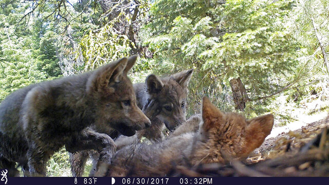 FILE - This June 30, 2017 remote camera image released by the U.S. Forest Service shows a female gray wolf and her mate with a pup born in 2017 in the wilds of Lassen National Forest in Northern California. Trump administration officials on Thursday, Oct. 29, 2020, stripped Endangered Species Act protections for gray wolves in most of the U.S., ending longstanding federal safeguards and putting states in charge of overseeing the predators. (U.S. Forest Service via AP, File)