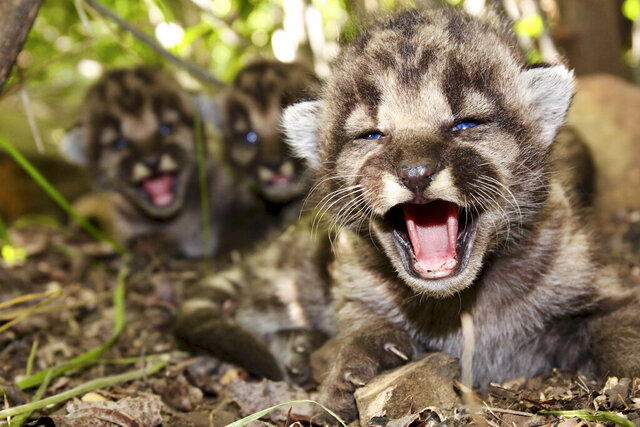 This May 2020, photo provided by the National Park Service shows mountain lion kitten P-54's and a den of kittens found in the Santa Monica Mountains. A boom in mountain lion births has occurred this summer in the Santa Monica Mountains and Simi Hills west of Los Angeles. Thirteen kittens were born to five mountain lion mothers between May and August, according to the Santa Monica Mountains National Recreation Area. (National Park Service via AP)