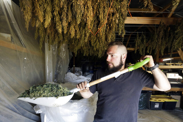 FILE - In this April 23, 2018, file photo, Trevor Eubanks, plant manager for Big Top Farms, shovels dried hemp as branches hang drying in barn rafters overhead at their production facility near Sisters, Ore. Draft rules released by the United States Department of Agriculture for a new and booming agricultural hemp industry have alarmed farmers, processors and retailers across the country, who say the provisions will be crippling if they are not significantly overhauled before they become final. (AP Photo/Don Ryan, File)