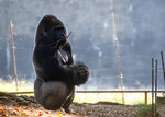 A western lowland gorilla is seen in its habitat at Zoo Atlanta on Tuesday, Sept. 14, 2021, in Atlanta. Nearly all of the zoo's 20 gorillas are showing symptoms of having contracted the coronavirus from a zoo staff worker, according to zoo officials. The confirmed cases of those gorillas tested have come back positive for the COVID-19 Delta variant. (AP Photo/Ron Harris)