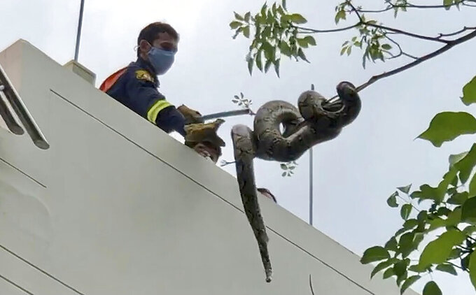 In this image made from video, a firefighter tries to capture a python in the Benjasiri Park in Bangkok, Thailand on Thursday, July 15, 2021. Bangkok parkgoers looking for relief from renewed coronavirus restrictions got a slithering surprise Thursday when a python as long as two of the Thai capital's ubiquitous motorbikes was spotted in one of the popular green space. (AP Photo/Adam Schreck)