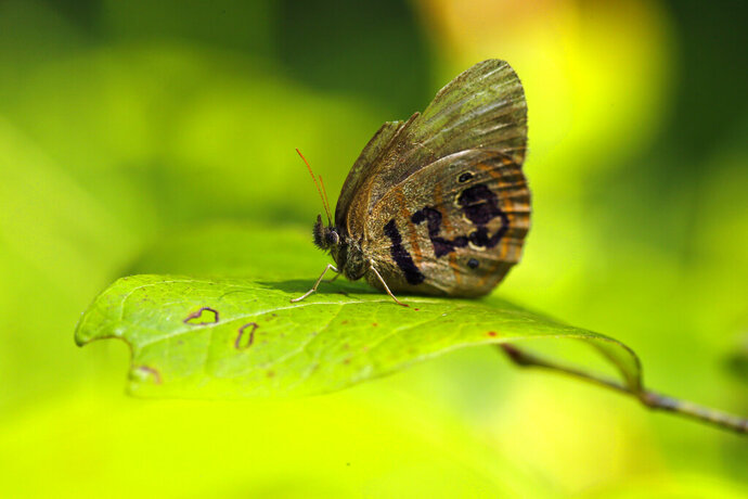 A St. Francis' satyr butterfly rests on a leaf in a swamp at Fort Bragg in North Carolina on Monday, July 29, 2019. It's wing was marked for identification by a biologist studying the rare insect. (AP Photo/Robert F. Bukaty)