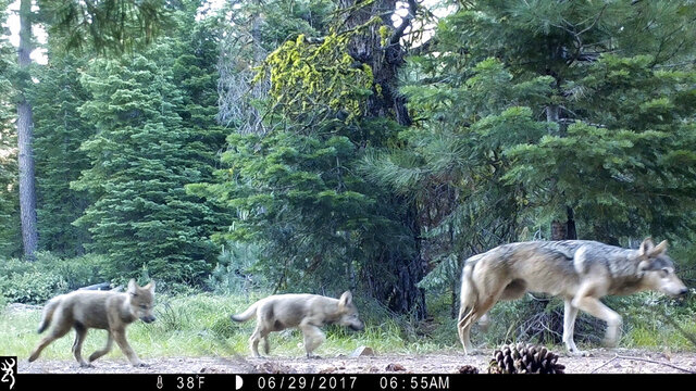 FILE - This June 29, 2017, file remote camera image provided by the U.S. Forest Service shows a female gray wolf and two of the three pups born in 2017 in the wilds of Lassen National Forest in Northern California. The Trump administration plans to lift endangered species protections for gray wolves across most of the nation by the end of 2020, the director of the U.S. Fish and Wildlife Service said Monday, Aug. 31, 2020. (U.S. Forest Service via AP, File)