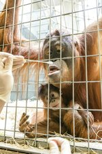 In this undated photo, released Thursday Jan. 31, 2019, by Zoo Basel, zoo keepers routinely take DNA samples from female orangutan Maya to determine the paternity of her daughter Padma at the Basel Zoo. ( Zoo Basel via AP)