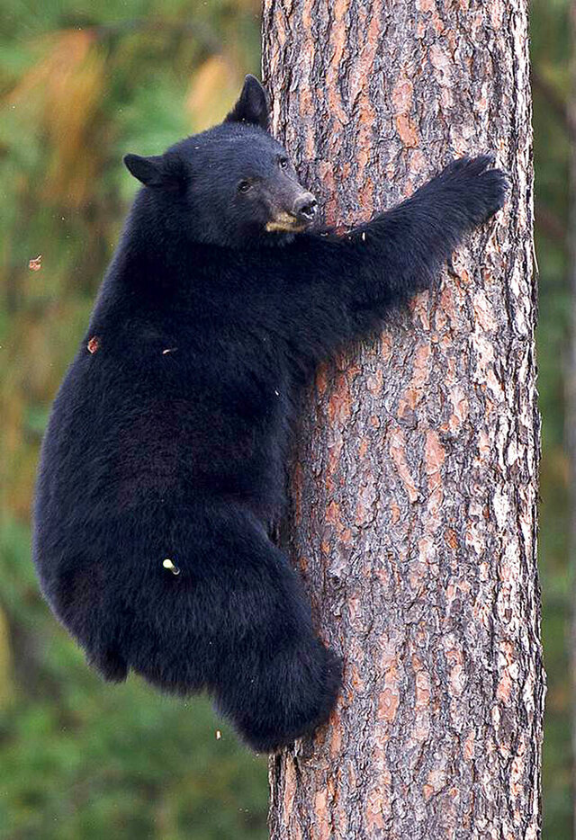 FILE - In this Sept. 24, 2014, file photo, a young black bear climbs down from a tree near Woodland Middle School in Coeur d'Alene, Idaho. A federal court on Thursday May 7, 2020 says a lawsuit seeking to ban using bait for hunting black bears in national forests in Idaho and Wyoming can continue. (Tess Freeman/Coeur D'Alene Press via AP, File)