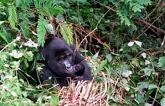 A Fully grown Gorilla holding baby in Bwindi National Park Uganda, Tuesday Aug.4.2020. Two new baby gorillas have been spotted in a national park where a beloved primate named Rafiki was killed in June, a Ugandan wildlife official said Tuesday, saying the additions are part of a baby boom in the forested protected area popular with tourists. For us it's a sign of relief. We lost one. We got two. But, of course, losing one is bad enough,