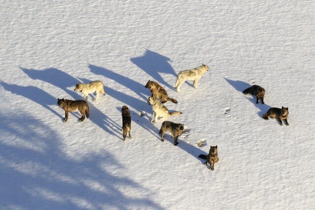 FILE - In this March 21, 2019, aerial file photo provided by the National Park Service, is the Junction Butte wolf pack in Yellowstone National Park, Wyo. Montana lawmakers have drafted bills that would allow more ways to kill gray wolves. The measures include proposals to expand wolf harvest seasons, reclassify the animals so they could be killed year-round and legalize the use of snares for trapping. (National Park Service via AP, File)