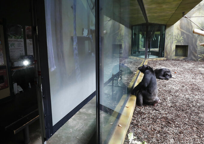 A chimpanzee watches a screen set at the enclosure at the Safari Park in Dvur Kralove, Czech Republic, Monday, March 15, 2021. To enrich everyday life of their chimpanzees amid a strict lockdown, a zoo park in the Czech Republic has installed a big screen in their enclosure to broadcast for them what fellow chimpanzees are doing at a zoo in Brno. The Safari Park launched the experimental project to give the chimpanzees somebody to watch and give them some fun after crowds of visitors disappeared when the zoo was closed due to the coronavirus pandemic on Dec 18, 2020. (AP Photo/Petr David Josek)