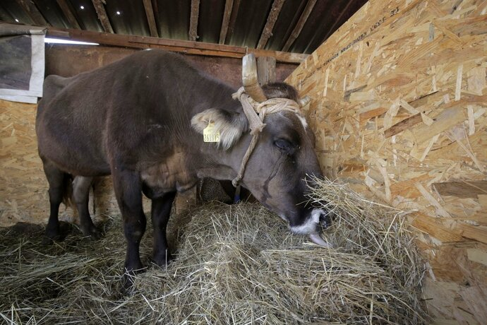 Penka the cow under quarantine in the village of Kopilovtsi, Bulgaria, Tuesday, June 12, 2018. The cow was saved from being put down after pressure of public discussion, after it strayed outside the EU borders, from Bulgaria into Serbia. (AP Photo/Valentina Petrova)