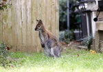 In this Wednesday, March 20, 2019 photo, a wallaby roams in the front yard of a Dallas neighborhood. The wallaby is native to Australia and New Guinea and part of the same family as kangaroos. Dallas Animal Services announced in a Facebook post Wednesday afternoon that the animal was kept secure until its unidentified owner picked it up. (Vernon Bryant/The Dallas Morning News via AP)