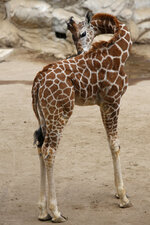 A two-month-old giraffe stands in her enclosure at the Chapultepec Zoo in Mexico City, Sunday, Dec. 29, 2019. The Mexico City zoo is celebrating its second baby giraffe of the year. The female giraffe was unveiled this week after a mandatory quarantine period following her Oct. 23 birth. She will be named via a public vote. (AP Photo/Ginnette Riquelme)