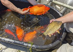In this image provided by the City of Burnsville, Minn., large goldfish caught in Keller Lake during a water quality survey are shown Friday, July 2, 2021. Officials in Minnesota say they're finding more giant goldfish in waterways, prompting a plea to citizens to stop illegally dumping their unwanted fish into ponds and lakes. The goldfish, which can grow to the size of a football, compete with native species for food and increase algae in lakes. (City of Burnsville via AP)