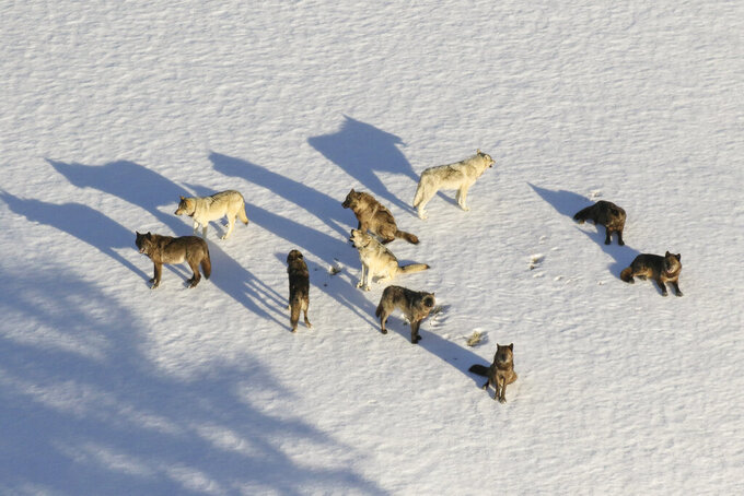 FILE - This March 21, 2019 file photo provided by the National Park Service shows the Junction Butte wolf pack taken from an aircraft in Yellowstone National Park. Yellowstone National Park biologists say three gray wolves from the large pack that's popular among tourists have been killed by hunters in Montana. Park officials said Monday, Sept. 27, 2021, that two female pups and a female yearling from the Junction Butte pack have been killed since the season opened earlier this month. (National Park Service via AP, File)