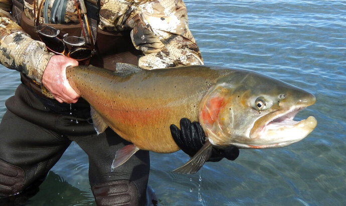 This 2019 photo provided by the U.S. Fish and Wildlife Service shows a Lahontan cutthroat trout recently caught at Pyramid Lake, 30 miles northeast of Reno, Nev. The U.S. Bureau of Reclamation broke ground Wednesday, Sept. 11, 2019 for a $23.5 million fish passage project at the Truckee River's Derby Dam about 20 miles east of Reno to help the threatened fish trout pass upstream to their native spawning grounds cutoff since the dam was built in 1905. Before that, they would migrate from Pyramid Lake in the high desert 120 miles upstream to spawn in Lake Tahoe. (U.S. Fish and Wildlife Service via AP)