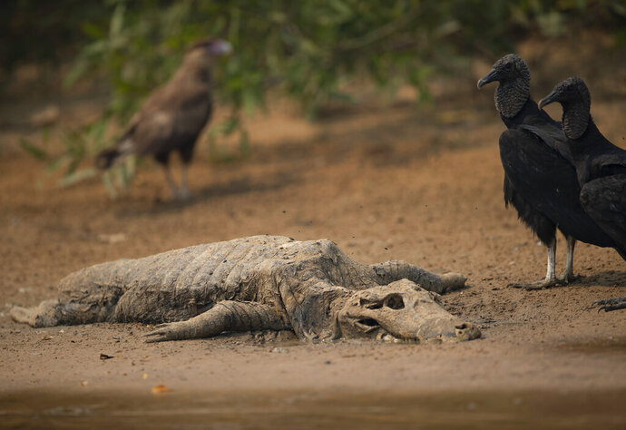 Vultures stand near the carcass of a caiman on the banks of the Cuiaba river at the Encontro das Aguas state park in the Pantanal wetlands near Pocone, Mato Grosso state, Brazil, Saturday, Sept. 12, 2020. The Pantanal is the world's largest tropical wetlands, popular for viewing the furtive felines, along with caiman, capybara and more. This year the Pantanal is exceptionally dry and burning at a record rate. (AP Photo/Andre Penner)