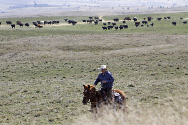 In this photo taken March 20, 2020, cattle rancher Joe Whitesell rides his horse in a field near Dufur, Oregon, as he helps a friend herd cattle. Tiny towns tucked into Oregon's windswept plains and cattle ranches miles from anywhere in South Dakota might not have had a single case of the new coronavirus yet, but their residents fear the spread of the disease to areas with scarce medical resources, the social isolation that comes when the only diner in town closes its doors and the economic free fall that's already hitting them hard. (AP Photo/Gillian Flaccus)
