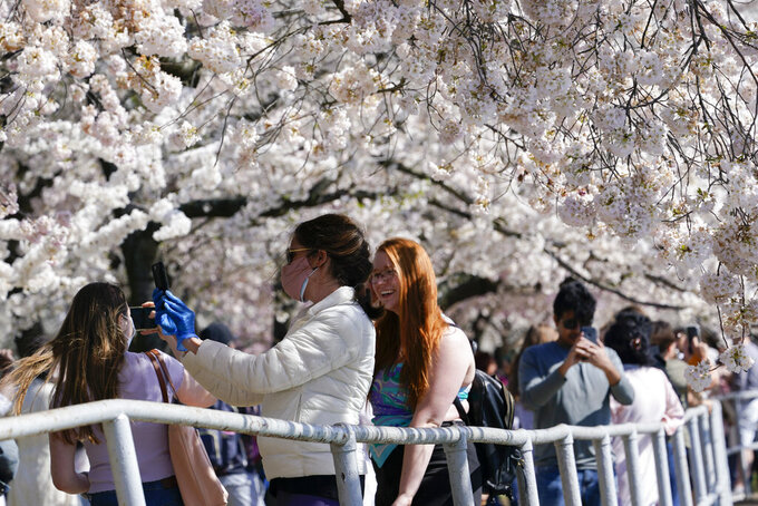People photograph Yoshino cherry trees that are in full bloom around the Tidal Basin in Washington, Tuesday, March 30, 2021. The 2021 National Cherry Blossom Festival celebrates the original gift of 3,000 cherry trees from the city of Tokyo to the people of Washington in 1912. (AP Photo/Susan Walsh)