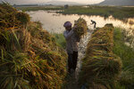 Indian farmers collect paddy from a submerged field on the outskirts of Gauhati, India, Tuesday, June 2, 2020. Pre-monsoon rains have caused rivers to flood in large parts of Assam. The state's main river, Brahmaputra, and its many tributaries flood heavily each year, forcing many to take shelter on higher ground. (AP Photo/Anupam Nath)