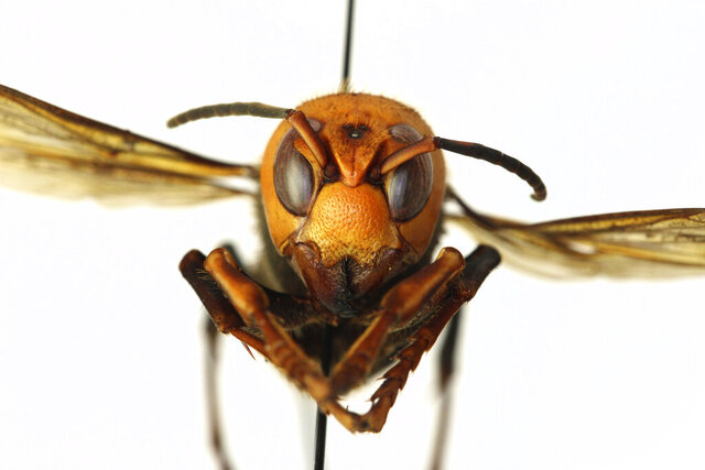 In this Dec. 30, 2019, photo provided by the Washington State Department of Agriculture, a dead Asian giant hornet is photographed in a lab in Olympia, Wash. The world's largest hornet, a 2-inch long killer with an appetite for honey bees, has been found in Washington state and entomologists are making plans to wipe it out. Dubbed the