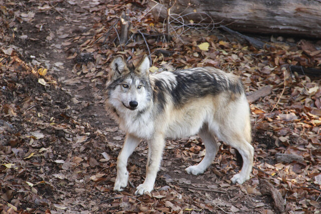 This Nov. 22, 2019 image provided by the ABQ BioPark shows Archer, a Mexican gray wolf that was born in May at the zoo in Albuquerque, New Mexico. The BioPark is among the partners working with the U.S. Fish and Wildlife Service and others to recover the endangered species. (ABQ BioPark via AP)