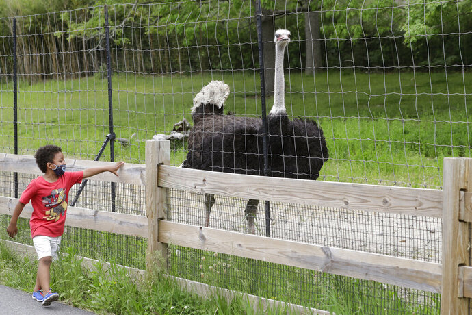 A young visitor to the Franklin Park Zoo wears a mask out of concern for the coronavirus while walking near a male ostrich named