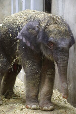 An elephant calf born July 6, 2020 is seen in a photo provided by the Saint Louis Zoo. The baby elephant has died several weeks after it was born at the St. Louis Zoo. Zoo officials say the Asian elephant calf named Avi was euthanized Sunday, Aug. 3, 2020 because he had developmental problems that limited his ability to feed.( Joshua Sydney-Smith/Saint Louis Zoo via AP)