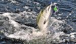In this undated photo a chinook salmon fights while on a fishing line near Brookings, Ore. A coalition of environmental and fishing groups have sued Oregon over allowing logging on state forest lands and allege the activity is damaging streams used by coho salmon. (Jamie Lusch/The Medford Mail Tribune via AP)
