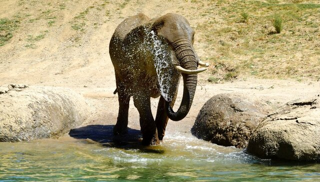 In this Aug. 2019, photo provided by the Oakland Zoo shows the eldest in Oakland Zoo's African elephant herd, M'Dunda in Oakland, Calif. Zoo officials announced M'Dunda, 50, died Tuesday, Dec. 3, 2019.  (Sarah Levintin/Oakland Zoo, via AP)