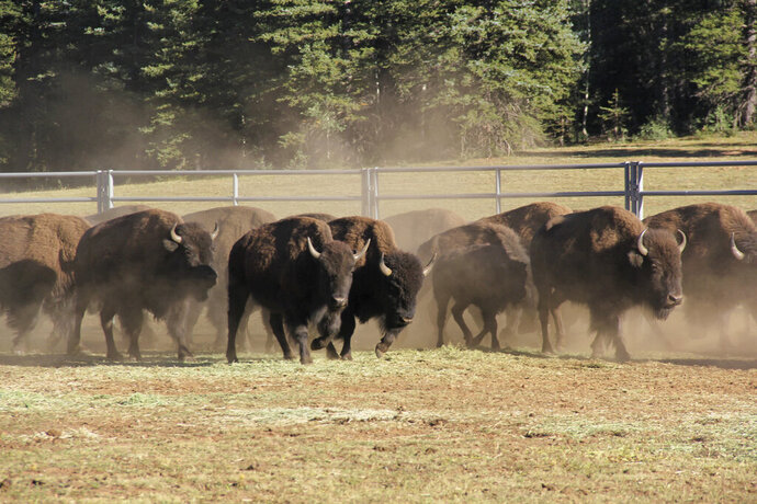 In this Sept. 13, 2019, photo, provided by the National Park Service, bison enter a corral on the North Rim of Grand Canyon National Park, Ariz. Over 30 bison roaming Grand Canyon National Park's northern reaches are joining a herd in Oklahoma. Hundreds of the massive animals have made their home at the Grand Canyon in recent years, but park officials say they're spoiling water sources and harming the landscape. (Bryan Maul/National Park Service via AP)
