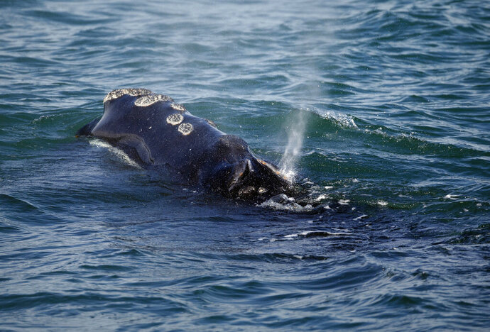 FILE - In this March 28, 2018 file photo, a North Atlantic right whale feeds on the surface of Cape Cod bay off the coast of Plymouth, Mass. Interstate fishing managers are starting the process of trying to reduce the amount of lobster fishing gear off the East Coast in an attempt to help save a declining species of the rare whale. The Atlantic States Marine Fisheries Commission announced on Wednesday, Feb. 6, 2019, that it will consider options designed to reduce vertical lobster fishing lines in the water by as much as 40 percent. (AP Photo/Michael Dwyer, File)