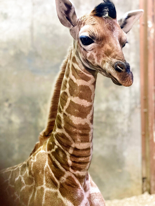 In this Wednesday, Nov. 18, 2020, photo provided by the Memphis Zoo is a newborn reticulated giraffe named Ja Raffe, in Memphis, Tenn. The zoo said it has named the baby giraffe Ja Raffe after Memphis Grizzlies guard Ja Morant on Thursday. The giraffe was born Nov. 10 at the zoo. Morant was named the NBA's rookie of the year this past season. (Memphis Zoo via AP)
