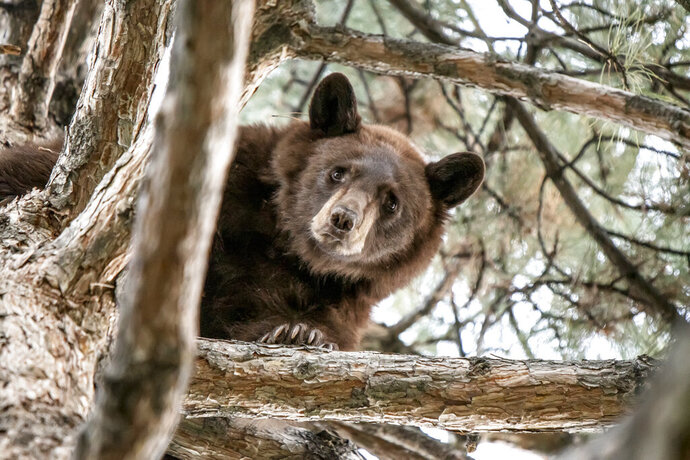 In this photo provided by the Utah Division of Wildlife Resources is a 2-year-old bear in a tree in Orem, Utah, Wednesday, Sept. 18, 2019. Orem police used their vehicle sirens to drive a 2-year-old bear up a tree after its presence in the central Utah caused traffic delays Wednesday morning. State Division of Wildlife Resources spokeswoman Faith Heaton Jolley said division personnel then were able to tranquilize the bear and remove it from the tree. (Steve F. Gray/Utah Division of Wildlife Resources via AP)