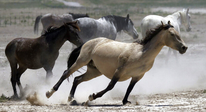 FILE - In this June 29, 2018, file photo, wild horses kick up dust as they run at a watering hole outside Salt Lake City. Acting U.S. Bureau of Land Management Director William Perry Pendley says it will take $5 billion and 15 years to get an overpopulation of wild horses under control on western federal lands. But he told reporters Wednesday, Oct, 23, 2019, several new developments have made him more optimistic than he's been in years about his agency's ability to eventually shrink the size of the herds from 88,000 to the 27,000 he says the range can sustain ecologically. (AP Photo/Rick Bowmer, File)
