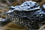 FILE - In this Sept. 27, 2011, file photo, is a gopher frog at the Audubon Zoo in New Orleans. Federal wildlife officials are proposing limits on what can be declared as