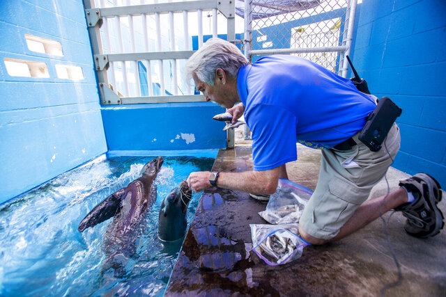 In this Tuesday, Feb. 25, 2020, photo, animal park curator Jeff Pawloski feeds two new sea lions from California, Niblet, left, and Brawler at Sea Life Park in Waimanalo, Hawaii. The pair were rescued separately by the Pacific Marine Mammal Center, a nonprofit organization that rescues, rehabilitates and releases marine animals back to the wild. (Dennis Oda/Honolulu Star-Advertiser via AP)