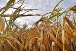 FILE - In this Aug. 21, 2018 file photo a dry cornfield is pictured in Ahlen, Germany. The world could see average global temperatures 1.5 degrees Celsius (2.7 Fahrenheit) above the pre-industrial average for the first time in the coming five years, the U.N. weather agency said Thursday. The 1.5-C mark is a key threshold that countries have agreed to limit global warming to, if possible. Scientists say average temperatures around the world are already at least 1 C higher now than during the period from 1850-1900 because of man-made greenhouse emissions. (AP Photo/Martin Meissner, file)